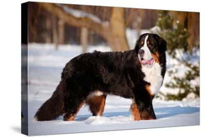 Bernse Mountain Dog Portrait in Winter- otsphoto-Stretched Canvas Print