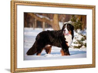 Bernse Mountain Dog Portrait in Winter- otsphoto-Framed Photographic Print