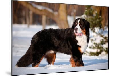 Bernse Mountain Dog Portrait in Winter- otsphoto-Mounted Photographic Print
