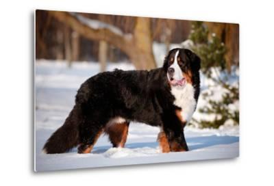 Bernse Mountain Dog Portrait in Winter- otsphoto-Metal Print