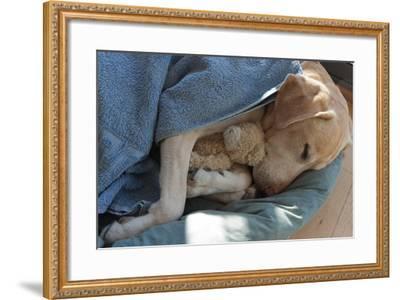 Labrador Sleeping and Hugging a Teddy Bear- davidsunyol-Framed Photographic Print