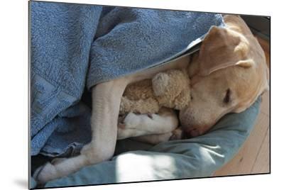 Labrador Sleeping and Hugging a Teddy Bear- davidsunyol-Mounted Photographic Print