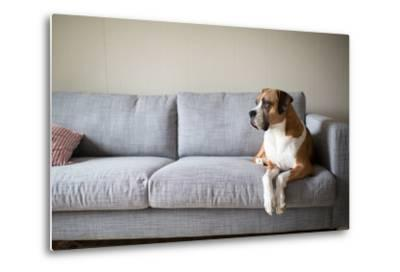 Boxer Mix Dog Laying on Gray Sofa at Home Looking in Window-Anna Hoychuk-Metal Print
