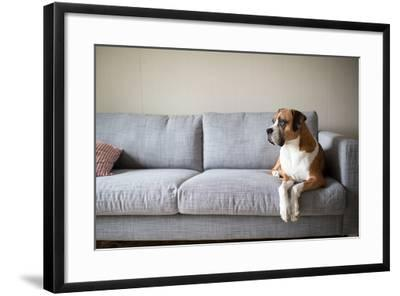 Boxer Mix Dog Laying on Gray Sofa at Home Looking in Window-Anna Hoychuk-Framed Photographic Print
