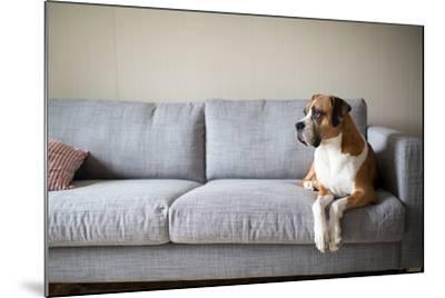 Boxer Mix Dog Laying on Gray Sofa at Home Looking in Window-Anna Hoychuk-Mounted Photographic Print