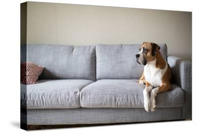 Boxer Mix Dog Laying on Gray Sofa at Home Looking in Window-Anna Hoychuk-Stretched Canvas Print