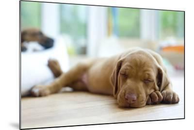 Cute Little Rhodesian Ridgeback Puppy Sleeping on the Ground. the Little Dogs are Four Weeks of Age-nancy dressel-Mounted Photographic Print