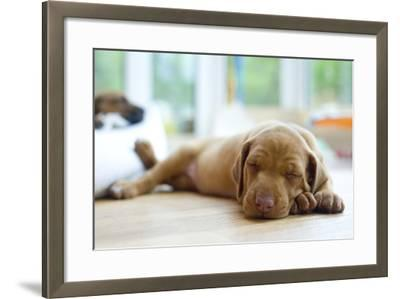 Cute Little Rhodesian Ridgeback Puppy Sleeping on the Ground. the Little Dogs are Four Weeks of Age-nancy dressel-Framed Photographic Print