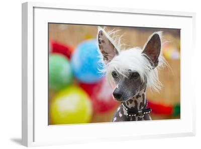 Portrait of Chinese Crested Dog - Copy Space-Jaromir Chalabala-Framed Photographic Print