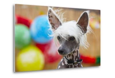 Portrait of Chinese Crested Dog - Copy Space-Jaromir Chalabala-Metal Print