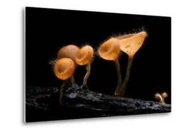 Pink Burn Cup Mushroom Isolated on Black Background- gopause-Metal Print