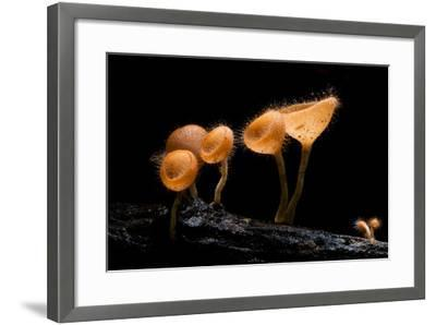 Pink Burn Cup Mushroom Isolated on Black Background- gopause-Framed Photographic Print