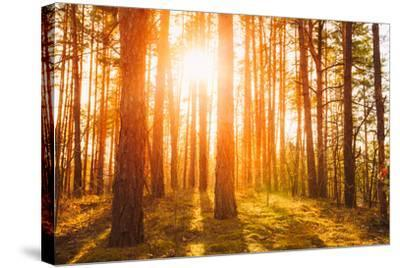 Sunset Sunrise in Atumn Coniferous Forest Trees. Nature Woods. HDR-Grisha Bruev-Stretched Canvas Print