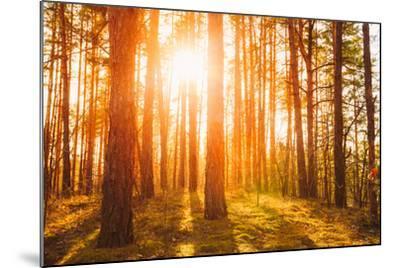 Sunset Sunrise in Atumn Coniferous Forest Trees. Nature Woods. HDR-Grisha Bruev-Mounted Photographic Print