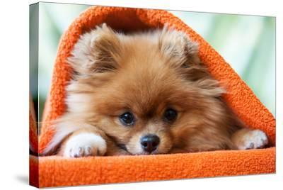 Cute and Funny Puppy Pomeranian Smiling on Orange Background- barinovalena-Stretched Canvas Print
