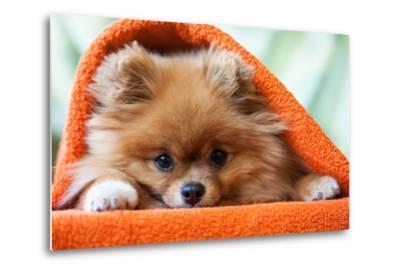 Cute and Funny Puppy Pomeranian Smiling on Orange Background- barinovalena-Metal Print