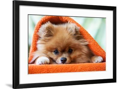 Cute and Funny Puppy Pomeranian Smiling on Orange Background- barinovalena-Framed Photographic Print