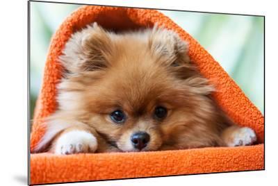 Cute and Funny Puppy Pomeranian Smiling on Orange Background- barinovalena-Mounted Photographic Print