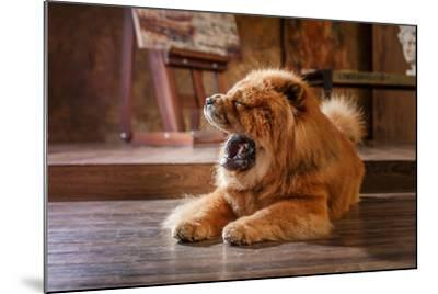 Dog Breed Chow Chow, Red Dog on a Retro Vintage Studio Background- dezi-Mounted Photographic Print