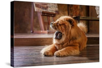 Dog Breed Chow Chow, Red Dog on a Retro Vintage Studio Background- dezi-Stretched Canvas Print