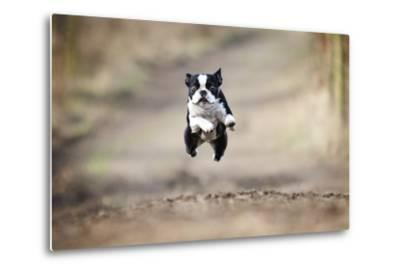 Beautiful Fun Young Boston Terrier Dog Trick Puppy Flying Jump and Running Crazy-Best dog photo-Metal Print