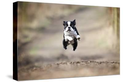 Beautiful Fun Young Boston Terrier Dog Trick Puppy Flying Jump and Running Crazy-Best dog photo-Stretched Canvas Print