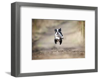 Beautiful Fun Young Boston Terrier Dog Trick Puppy Flying Jump and Running Crazy-Best dog photo-Framed Photographic Print