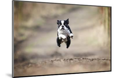 Beautiful Fun Young Boston Terrier Dog Trick Puppy Flying Jump and Running Crazy-Best dog photo-Mounted Photographic Print