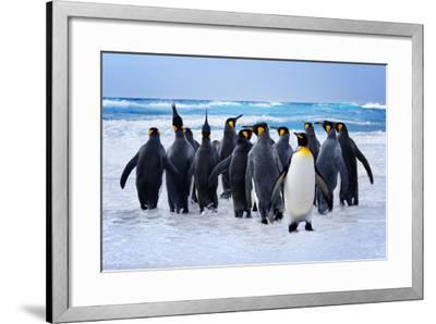 King Penguins Heading to the Water in the Falkland Islands-kwest-Framed Photographic Print