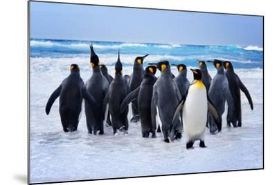 King Penguins Heading to the Water in the Falkland Islands-kwest-Mounted Photographic Print