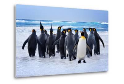 King Penguins Heading to the Water in the Falkland Islands-kwest-Metal Print