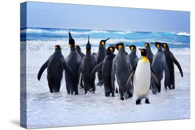 King Penguins Heading to the Water in the Falkland Islands-kwest-Stretched Canvas Print