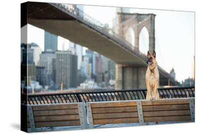 Dog Standing in Front of Brooklyn Bridge and NYC Skyline Horizontal-The Dog Photographer-Stretched Canvas Print