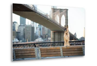 Dog Standing in Front of Brooklyn Bridge and NYC Skyline Horizontal-The Dog Photographer-Metal Print