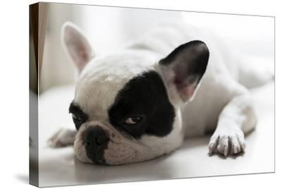 Sleepy French Bulldog- Kittibowornphatnon-Stretched Canvas Print