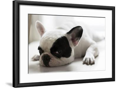 Sleepy French Bulldog- Kittibowornphatnon-Framed Photographic Print