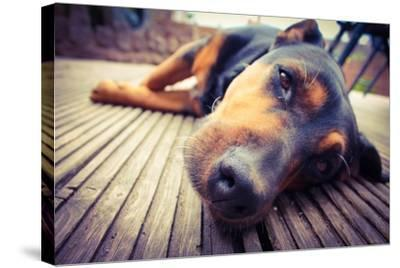 A Mixed Breed Dog Dozing on Wooden Deck-Jo millington-Stretched Canvas Print