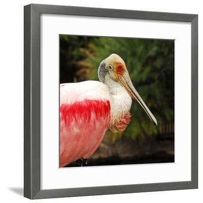 Roseate Spoonbill Bird-Nancy Bauer-Framed Photographic Print