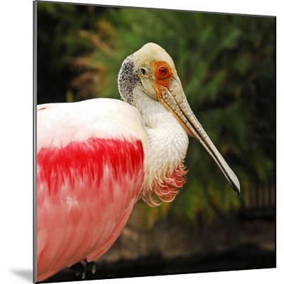 Roseate Spoonbill Bird-Nancy Bauer-Mounted Photographic Print