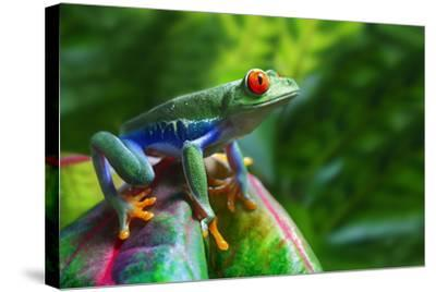 A Colorful Red-Eyed Tree Frog in its Tropical Setting.-Brandon Alms-Stretched Canvas Print