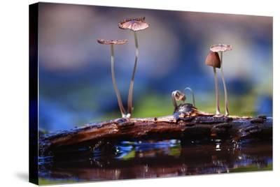 Small Mushrooms Toadstools Macro Poisonous-Kichigin-Stretched Canvas Print