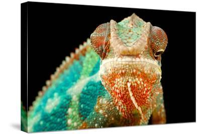 Chameleon-Mark Bridger-Stretched Canvas Print
