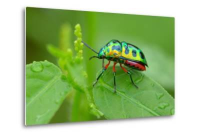 Colorful Shield Bug-YapAhock-Metal Print