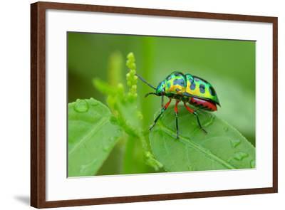 Colorful Shield Bug-YapAhock-Framed Photographic Print
