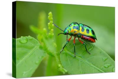 Colorful Shield Bug-YapAhock-Stretched Canvas Print