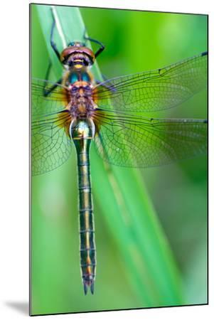 A Dragonfly (Cordulia Aenea) Warming its Wings in the Early Morning Sun- corlaffra-Mounted Photographic Print