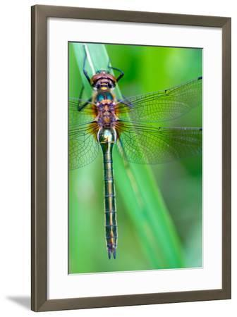 A Dragonfly (Cordulia Aenea) Warming its Wings in the Early Morning Sun- corlaffra-Framed Photographic Print