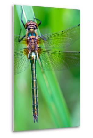 A Dragonfly (Cordulia Aenea) Warming its Wings in the Early Morning Sun- corlaffra-Metal Print
