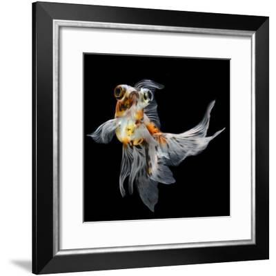 Goldfish Isolated on Black Background- bluehand-Framed Photographic Print