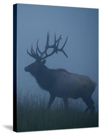 Trophy Bull Elk with Huge Record Class Antlers, in Fog and Mist, in Western Pennsylvania near Benez-Tom Reichner-Stretched Canvas Print